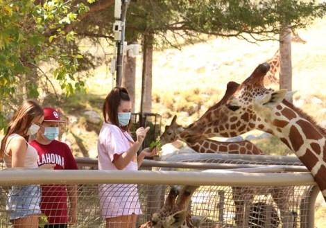 Living Desert Giraffe Feeding Mask Wearing